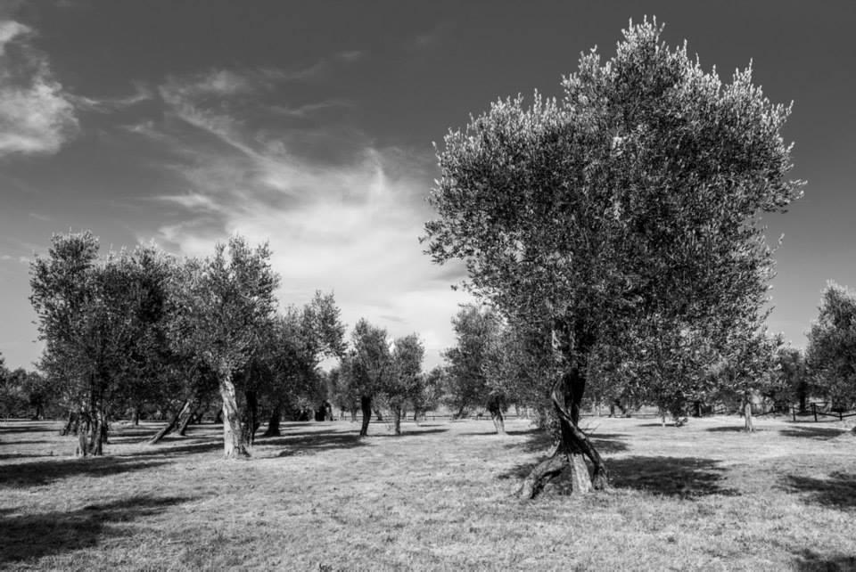 Grande oliveto di Giorgio Campagnaro (Castelfranco Veneto)